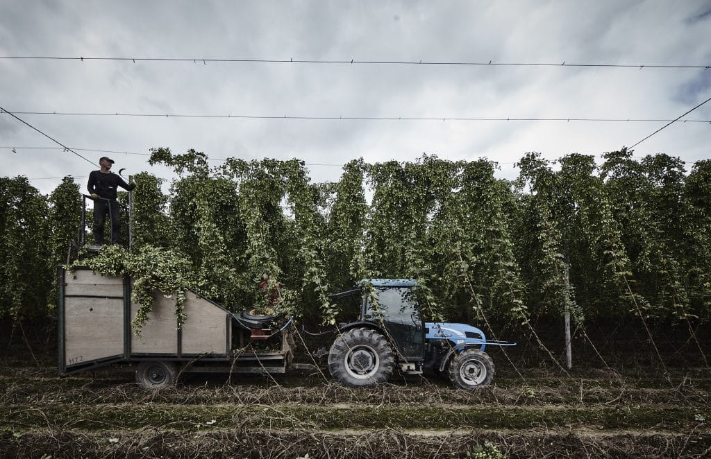 Photo of bines being picked and loaded onto a tractor trailer