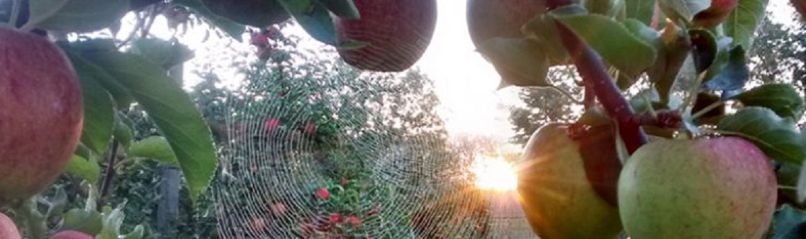 Photo of a cobweb between apples on a tree. purely decorative